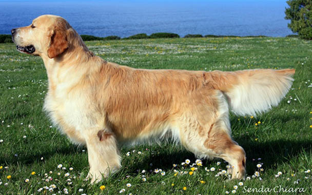 golden retriever Tarantino de Ria vela