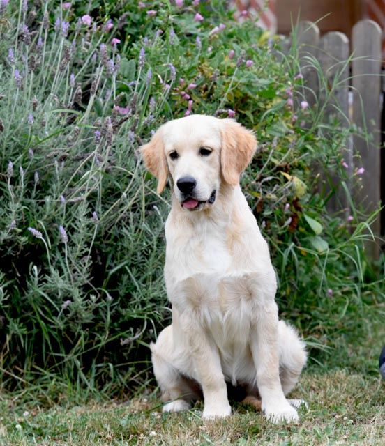 Valdelesabeyes Golden Retriever