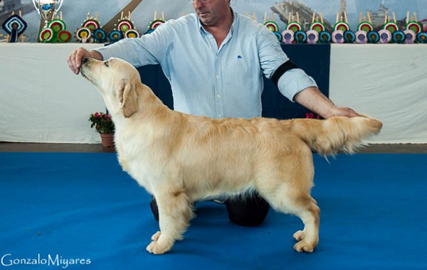 golden retriever dess de valdelesabeyes